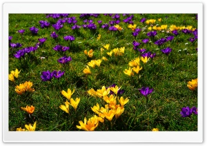 Crocus Field HD Wide Wallpaper for Widescreen