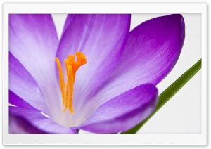 Crocus Flower Macro HD Wide Wallpaper for Widescreen