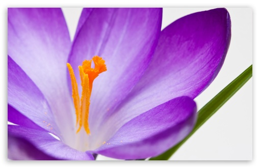 Crocus Flower Macro ❤ 4K UHD Wallpaper for Wide 16:10 5:3 Widescreen WHXGA WQXGA WUXGA WXGA WGA ; UltraWide 21:9 24:10 ; 4K UHD 16:9 Ultra High Definition 2160p 1440p 1080p 900p 720p ; UHD 16:9 2160p 1440p 1080p 900p 720p ; Standard 4:3 5:4 3:2 Fullscreen UXGA XGA SVGA QSXGA SXGA DVGA HVGA HQVGA ( Apple PowerBook G4 iPhone 4 3G 3GS iPod Touch ) ; Smartphone 16:9 3:2 5:3 2160p 1440p 1080p 900p 720p DVGA HVGA HQVGA ( Apple PowerBook G4 iPhone 4 3G 3GS iPod Touch ) WGA ; Tablet 1:1 ; iPad 1/2/Mini ; Mobile 4:3 5:3 3:2 16:9 5:4 - UXGA XGA SVGA WGA DVGA HVGA HQVGA ( Apple PowerBook G4 iPhone 4 3G 3GS iPod Touch ) 2160p 1440p 1080p 900p 720p QSXGA SXGA ;