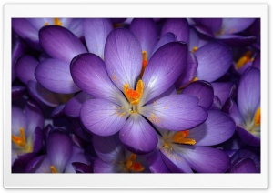 Crocus Flowers HD Wide Wallpaper for Widescreen
