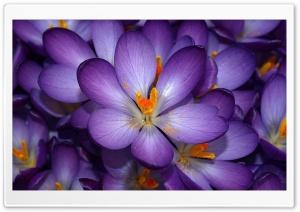 Crocus Flowers Ultra HD Wallpaper for 4K UHD Widescreen desktop, tablet & smartphone