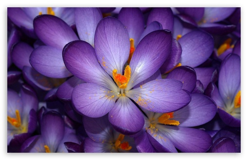 Crocus Flowers ❤ 4K UHD Wallpaper for Wide 16:10 5:3 Widescreen WHXGA WQXGA WUXGA WXGA WGA ; 4K UHD 16:9 Ultra High Definition 2160p 1440p 1080p 900p 720p ; Standard 4:3 5:4 3:2 Fullscreen UXGA XGA SVGA QSXGA SXGA DVGA HVGA HQVGA ( Apple PowerBook G4 iPhone 4 3G 3GS iPod Touch ) ; Tablet 1:1 ; iPad 1/2/Mini ; Mobile 4:3 5:3 3:2 16:9 5:4 - UXGA XGA SVGA WGA DVGA HVGA HQVGA ( Apple PowerBook G4 iPhone 4 3G 3GS iPod Touch ) 2160p 1440p 1080p 900p 720p QSXGA SXGA ;