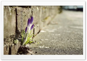 Crocus Flowers In The City HD Wide Wallpaper for Widescreen