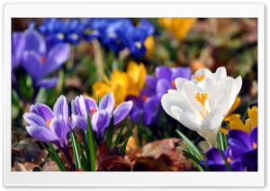 Crocus Flowers, Spring HD Wide Wallpaper for Widescreen