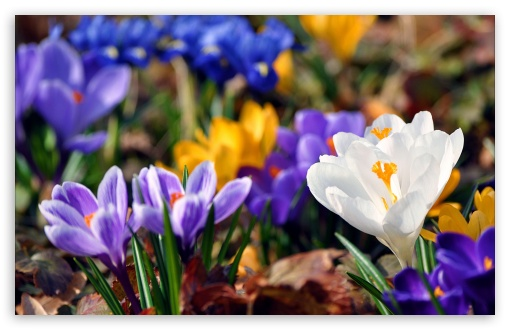 Crocus flowers spring 4k hd desktop wallpaper for 4k ultra hd tv download crocus flowers spring hd wallpaper mightylinksfo