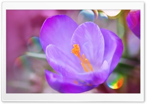 Crocus Macro HD Wide Wallpaper for Widescreen