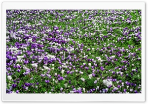 Crocus Meadow HD Wide Wallpaper for Widescreen