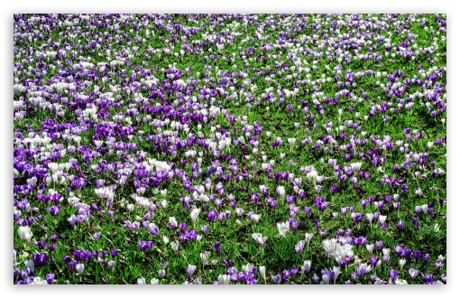 Crocus Meadow UltraHD Wallpaper for Wide 16:10 5:3 Widescreen WHXGA WQXGA WUXGA WXGA WGA ; 8K UHD TV 16:9 Ultra High Definition 2160p 1440p 1080p 900p 720p ; Standard 4:3 5:4 3:2 Fullscreen UXGA XGA SVGA QSXGA SXGA DVGA HVGA HQVGA ( Apple PowerBook G4 iPhone 4 3G 3GS iPod Touch ) ; Tablet 1:1 ; iPad 1/2/Mini ; Mobile 4:3 5:3 3:2 16:9 5:4 - UXGA XGA SVGA WGA DVGA HVGA HQVGA ( Apple PowerBook G4 iPhone 4 3G 3GS iPod Touch ) 2160p 1440p 1080p 900p 720p QSXGA SXGA ;
