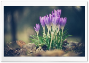 Crocus Spring Flowers HD Wide Wallpaper for Widescreen