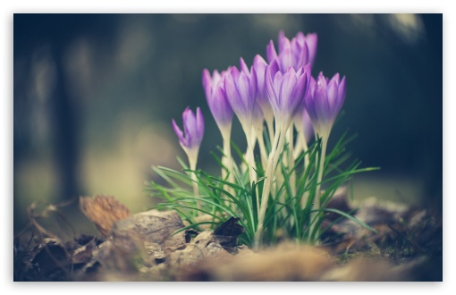 Crocus Spring Flowers ❤ 4K UHD Wallpaper for Wide 16:10 5:3 Widescreen WHXGA WQXGA WUXGA WXGA WGA ; 4K UHD 16:9 Ultra High Definition 2160p 1440p 1080p 900p 720p ; Standard 4:3 5:4 3:2 Fullscreen UXGA XGA SVGA QSXGA SXGA DVGA HVGA HQVGA ( Apple PowerBook G4 iPhone 4 3G 3GS iPod Touch ) ; Smartphone 16:9 3:2 5:3 2160p 1440p 1080p 900p 720p DVGA HVGA HQVGA ( Apple PowerBook G4 iPhone 4 3G 3GS iPod Touch ) WGA ; Tablet 1:1 ; iPad 1/2/Mini ; Mobile 4:3 5:3 3:2 16:9 5:4 - UXGA XGA SVGA WGA DVGA HVGA HQVGA ( Apple PowerBook G4 iPhone 4 3G 3GS iPod Touch ) 2160p 1440p 1080p 900p 720p QSXGA SXGA ;