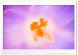 Crocus Stamens HD Wide Wallpaper for Widescreen