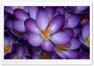 Crocuses HD Wide Wallpaper for Widescreen