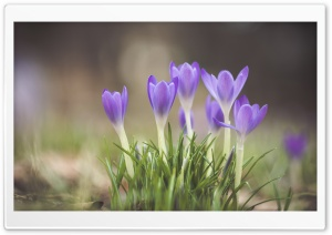 Crocuses Blooming HD Wide Wallpaper for Widescreen