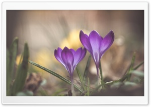 Crocuses Blooming Time HD Wide Wallpaper for Widescreen
