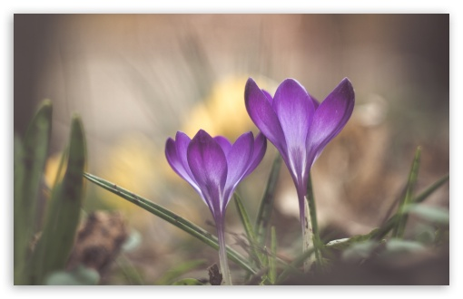 Crocuses Blooming Time ❤ 4K UHD Wallpaper for Wide 16:10 5:3 Widescreen WHXGA WQXGA WUXGA WXGA WGA ; 4K UHD 16:9 Ultra High Definition 2160p 1440p 1080p 900p 720p ; Standard 4:3 5:4 3:2 Fullscreen UXGA XGA SVGA QSXGA SXGA DVGA HVGA HQVGA ( Apple PowerBook G4 iPhone 4 3G 3GS iPod Touch ) ; Smartphone 16:9 3:2 5:3 2160p 1440p 1080p 900p 720p DVGA HVGA HQVGA ( Apple PowerBook G4 iPhone 4 3G 3GS iPod Touch ) WGA ; Tablet 1:1 ; iPad 1/2/Mini ; Mobile 4:3 5:3 3:2 16:9 5:4 - UXGA XGA SVGA WGA DVGA HVGA HQVGA ( Apple PowerBook G4 iPhone 4 3G 3GS iPod Touch ) 2160p 1440p 1080p 900p 720p QSXGA SXGA ;