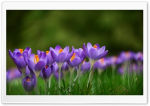 Crocuses Croci Flowers, Meadow, Spring Ultra HD Wallpaper for 4K UHD Widescreen desktop, tablet & smartphone