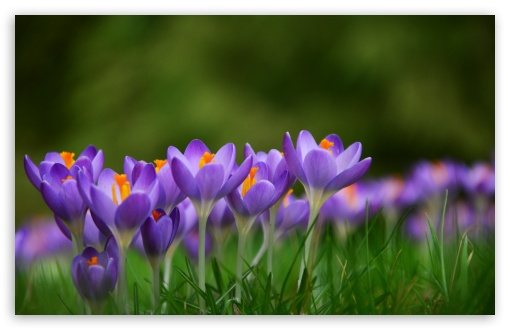 Crocuses Croci Flowers, Meadow, Spring UltraHD Wallpaper for Wide 16:10 5:3 Widescreen WHXGA WQXGA WUXGA WXGA WGA ; UltraWide 21:9 24:10 ; 8K UHD TV 16:9 Ultra High Definition 2160p 1440p 1080p 900p 720p ; UHD 16:9 2160p 1440p 1080p 900p 720p ; Standard 4:3 5:4 3:2 Fullscreen UXGA XGA SVGA QSXGA SXGA DVGA HVGA HQVGA ( Apple PowerBook G4 iPhone 4 3G 3GS iPod Touch ) ; Smartphone 16:9 3:2 5:3 2160p 1440p 1080p 900p 720p DVGA HVGA HQVGA ( Apple PowerBook G4 iPhone 4 3G 3GS iPod Touch ) WGA ; Tablet 1:1 ; iPad 1/2/Mini ; Mobile 4:3 5:3 3:2 16:9 5:4 - UXGA XGA SVGA WGA DVGA HVGA HQVGA ( Apple PowerBook G4 iPhone 4 3G 3GS iPod Touch ) 2160p 1440p 1080p 900p 720p QSXGA SXGA ; Dual 16:10 5:3 16:9 4:3 5:4 3:2 WHXGA WQXGA WUXGA WXGA WGA 2160p 1440p 1080p 900p 720p UXGA XGA SVGA QSXGA SXGA DVGA HVGA HQVGA ( Apple PowerBook G4 iPhone 4 3G 3GS iPod Touch ) ; Triple 16:10 5:3 16:9 4:3 5:4 3:2 WHXGA WQXGA WUXGA WXGA WGA 2160p 1440p 1080p 900p 720p UXGA XGA SVGA QSXGA SXGA DVGA HVGA HQVGA ( Apple PowerBook G4 iPhone 4 3G 3GS iPod Touch ) ;