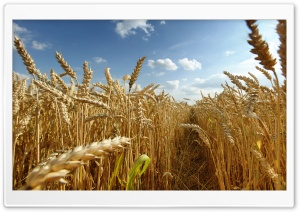 Crops HD Wide Wallpaper for Widescreen