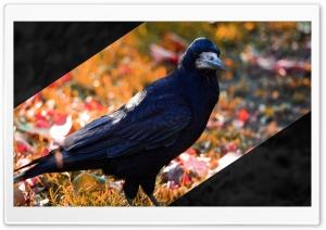 Crow HD Wide Wallpaper for 4K UHD Widescreen desktop & smartphone