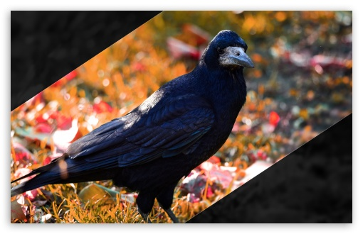 Crow UltraHD Wallpaper for Wide 16:10 5:3 Widescreen WHXGA WQXGA WUXGA WXGA WGA ; 8K UHD TV 16:9 Ultra High Definition 2160p 1440p 1080p 900p 720p ; UHD 16:9 2160p 1440p 1080p 900p 720p ; Standard 4:3 5:4 3:2 Fullscreen UXGA XGA SVGA QSXGA SXGA DVGA HVGA HQVGA ( Apple PowerBook G4 iPhone 4 3G 3GS iPod Touch ) ; Tablet 1:1 ; iPad 1/2/Mini ; Mobile 4:3 5:3 3:2 16:9 5:4 - UXGA XGA SVGA WGA DVGA HVGA HQVGA ( Apple PowerBook G4 iPhone 4 3G 3GS iPod Touch ) 2160p 1440p 1080p 900p 720p QSXGA SXGA ;