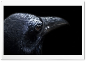 Crow HD Wide Wallpaper for Widescreen