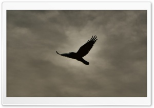 Crow Flying Silhouette HD Wide Wallpaper for 4K UHD Widescreen desktop & smartphone