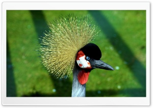 Crowned Crane HD Wide Wallpaper for Widescreen