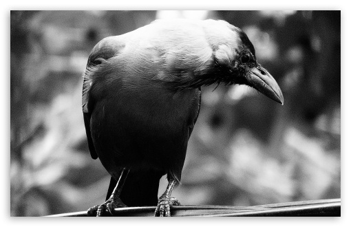 Crowww HD wallpaper for Wide 16:10 5:3 Widescreen WHXGA WQXGA WUXGA WXGA WGA ; Standard 4:3 5:4 3:2 Fullscreen UXGA XGA SVGA QSXGA SXGA DVGA HVGA HQVGA devices ( Apple PowerBook G4 iPhone 4 3G 3GS iPod Touch ) ; Tablet 1:1 ; iPad 1/2/Mini ; Mobile 4:3 5:3 3:2 5:4 - UXGA XGA SVGA WGA DVGA HVGA HQVGA devices ( Apple PowerBook G4 iPhone 4 3G 3GS iPod Touch ) QSXGA SXGA ;