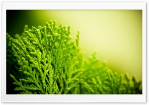 Cupressaceae HD Wide Wallpaper for Widescreen