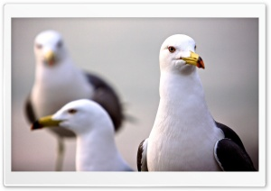 Curious Seagull HD Wide Wallpaper for Widescreen