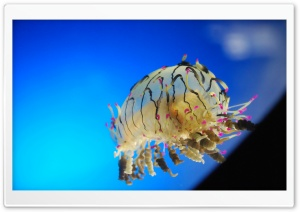 Curly Jellyfish HD Wide Wallpaper for Widescreen