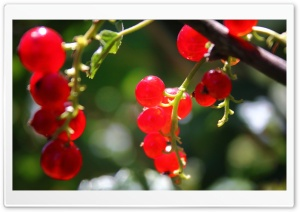 Currants HD Wide Wallpaper for Widescreen