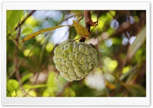Custard Apple HD Wide Wallpaper for Widescreen
