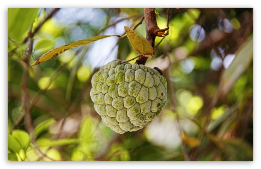 Custard Apple ❤ 4K UHD Wallpaper for Wide 16:10 5:3 Widescreen WHXGA WQXGA WUXGA WXGA WGA ; 4K UHD 16:9 Ultra High Definition 2160p 1440p 1080p 900p 720p ; UHD 16:9 2160p 1440p 1080p 900p 720p ; Standard 4:3 5:4 3:2 Fullscreen UXGA XGA SVGA QSXGA SXGA DVGA HVGA HQVGA ( Apple PowerBook G4 iPhone 4 3G 3GS iPod Touch ) ; Tablet 1:1 ; iPad 1/2/Mini ; Mobile 4:3 5:3 3:2 16:9 5:4 - UXGA XGA SVGA WGA DVGA HVGA HQVGA ( Apple PowerBook G4 iPhone 4 3G 3GS iPod Touch ) 2160p 1440p 1080p 900p 720p QSXGA SXGA ;