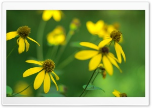 Cut-leaf Coneflower HD Wide Wallpaper for Widescreen