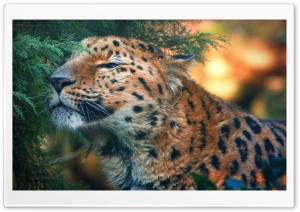 Cute Amur Leopard HD Wide Wallpaper for Widescreen