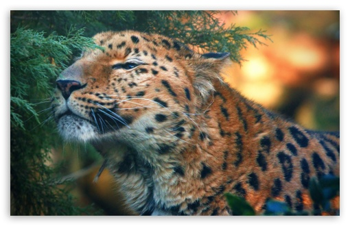 Cute Amur Leopard HD wallpaper for Wide 16:10 5:3 Widescreen WHXGA WQXGA WUXGA WXGA WGA ; HD 16:9 High Definition WQHD QWXGA 1080p 900p 720p QHD nHD ; Standard 4:3 5:4 3:2 Fullscreen UXGA XGA SVGA QSXGA SXGA DVGA HVGA HQVGA devices ( Apple PowerBook G4 iPhone 4 3G 3GS iPod Touch ) ; iPad 1/2/Mini ; Mobile 4:3 5:3 3:2 16:9 5:4 - UXGA XGA SVGA WGA DVGA HVGA HQVGA devices ( Apple PowerBook G4 iPhone 4 3G 3GS iPod Touch ) WQHD QWXGA 1080p 900p 720p QHD nHD QSXGA SXGA ;