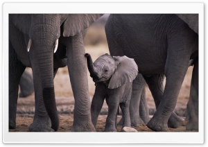 Cute Baby Elephant HD Wide Wallpaper for Widescreen