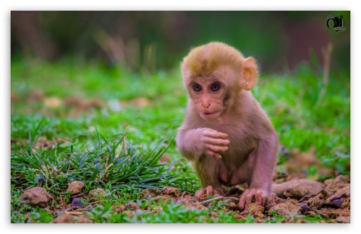 Cute Baby Monkey ❤ 4K UHD Wallpaper for Wide 16:10 5:3 Widescreen WHXGA WQXGA WUXGA WXGA WGA ; 4K UHD 16:9 Ultra High Definition 2160p 1440p 1080p 900p 720p ; UHD 16:9 2160p 1440p 1080p 900p 720p ; Standard 4:3 5:4 3:2 Fullscreen UXGA XGA SVGA QSXGA SXGA DVGA HVGA HQVGA ( Apple PowerBook G4 iPhone 4 3G 3GS iPod Touch ) ; Smartphone 16:9 3:2 5:3 2160p 1440p 1080p 900p 720p DVGA HVGA HQVGA ( Apple PowerBook G4 iPhone 4 3G 3GS iPod Touch ) WGA ; Tablet 1:1 ; iPad 1/2/Mini ; Mobile 4:3 5:3 3:2 16:9 5:4 - UXGA XGA SVGA WGA DVGA HVGA HQVGA ( Apple PowerBook G4 iPhone 4 3G 3GS iPod Touch ) 2160p 1440p 1080p 900p 720p QSXGA SXGA ;