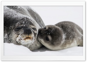 Cute Baby Seal Kiss HD Wide Wallpaper for Widescreen