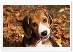 Cute Beagle Puppy HD Wide Wallpaper for 4K UHD Widescreen desktop & smartphone