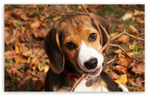Cute Beagle Puppy HD wallpaper for Wide 16:10 5:3 Widescreen WHXGA WQXGA WUXGA WXGA WGA ; HD 16:9 High Definition WQHD QWXGA 1080p 900p 720p QHD nHD ; Standard 4:3 5:4 3:2 Fullscreen UXGA XGA SVGA QSXGA SXGA DVGA HVGA HQVGA devices ( Apple PowerBook G4 iPhone 4 3G 3GS iPod Touch ) ; Tablet 1:1 ; iPad 1/2/Mini ; Mobile 4:3 5:3 3:2 16:9 5:4 - UXGA XGA SVGA WGA DVGA HVGA HQVGA devices ( Apple PowerBook G4 iPhone 4 3G 3GS iPod Touch ) WQHD QWXGA 1080p 900p 720p QHD nHD QSXGA SXGA ;