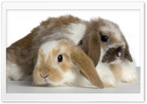 Cute Bunnies HD Wide Wallpaper for 4K UHD Widescreen desktop & smartphone