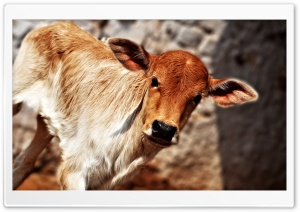 Cute Calf HD Wide Wallpaper for Widescreen