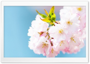 Cute Cherry Blossom HD Wide Wallpaper for Widescreen