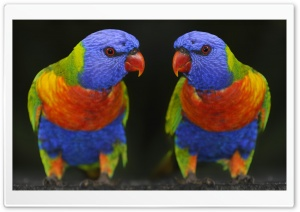 Cute Colour Parrots HD Wide Wallpaper for Widescreen