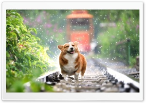 Cute Corgi HD Wide Wallpaper for 4K UHD Widescreen desktop & smartphone