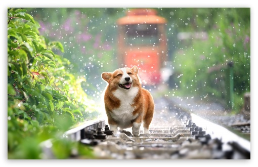 Download Cute Corgi UltraHD Wallpaper