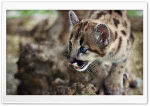 Cute Cougar Cub HD Wide Wallpaper for Widescreen