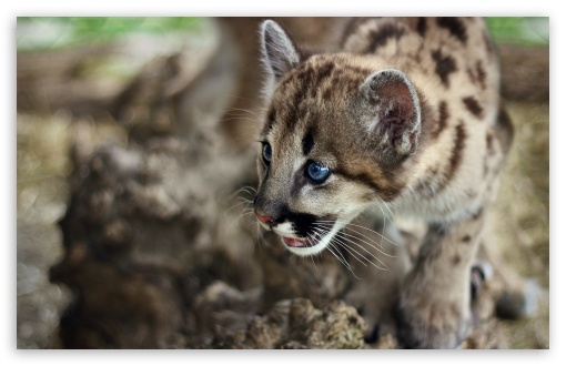 Cute Cougar Cub HD wallpaper for Wide 16:10 5:3 Widescreen WHXGA WQXGA WUXGA WXGA WGA ; HD 16:9 High Definition WQHD QWXGA 1080p 900p 720p QHD nHD ; Standard 4:3 5:4 3:2 Fullscreen UXGA XGA SVGA QSXGA SXGA DVGA HVGA HQVGA devices ( Apple PowerBook G4 iPhone 4 3G 3GS iPod Touch ) ; Tablet 1:1 ; iPad 1/2/Mini ; Mobile 4:3 5:3 3:2 16:9 5:4 - UXGA XGA SVGA WGA DVGA HVGA HQVGA devices ( Apple PowerBook G4 iPhone 4 3G 3GS iPod Touch ) WQHD QWXGA 1080p 900p 720p QHD nHD QSXGA SXGA ;